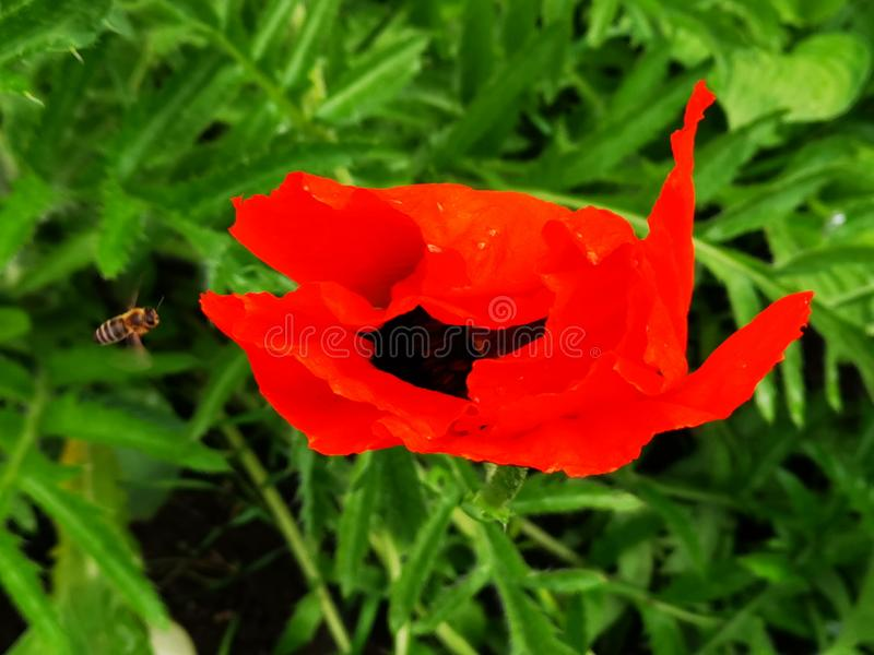 Poppy and bee in the garden stock photo