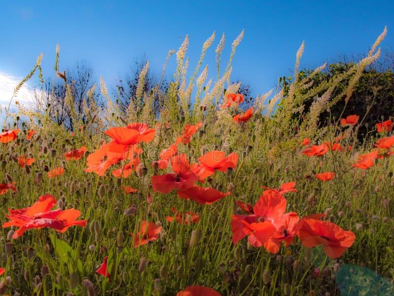 Poppy Bloom Symphony in rood royalty-vrije stock foto
