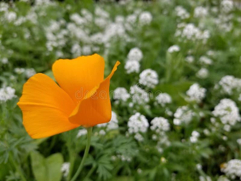 Flower Blooming in Field. Poppy Blooming in Field, flower, wildflower, outdoors, orange, nature, flora stock image