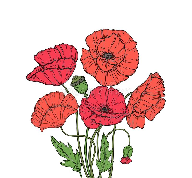Poppy bouquet. Red poppies flower meadow garden flowers decorative plant poppy bud planting floral anzac day vector. Background. Illustration of red poppy bud stock illustration