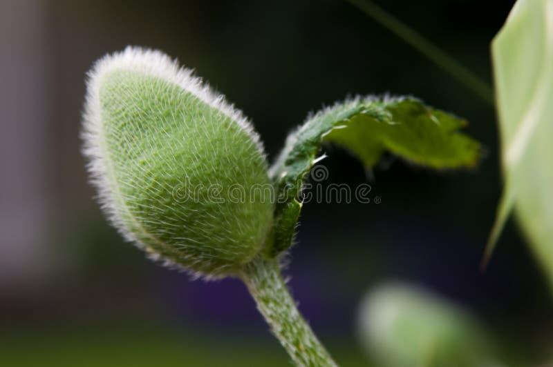 Poppy Bud royalty-vrije stock fotografie