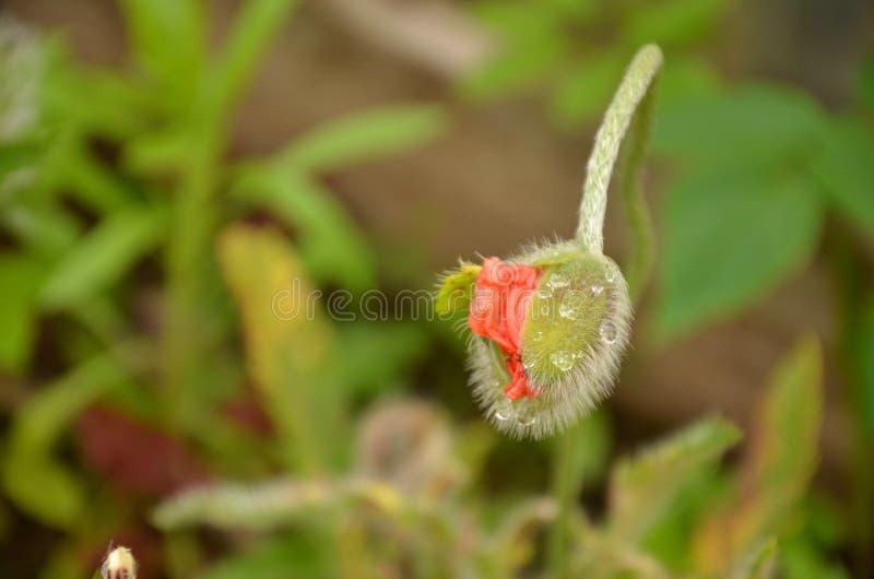 Poppy Bud photo stock