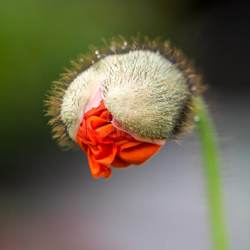 Poppy Bud image stock