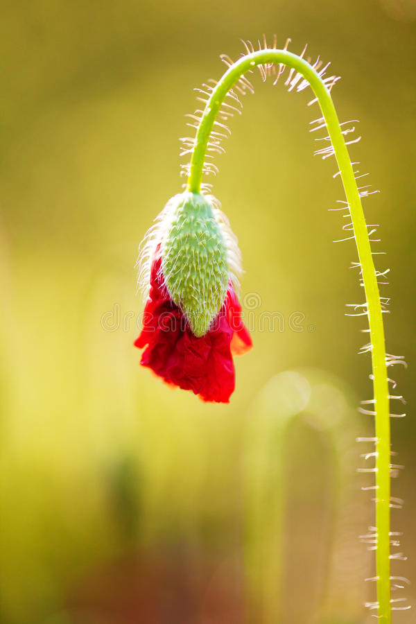 Download Poppy Bud Opening stock photo. Image of up, close, petal - 32992376