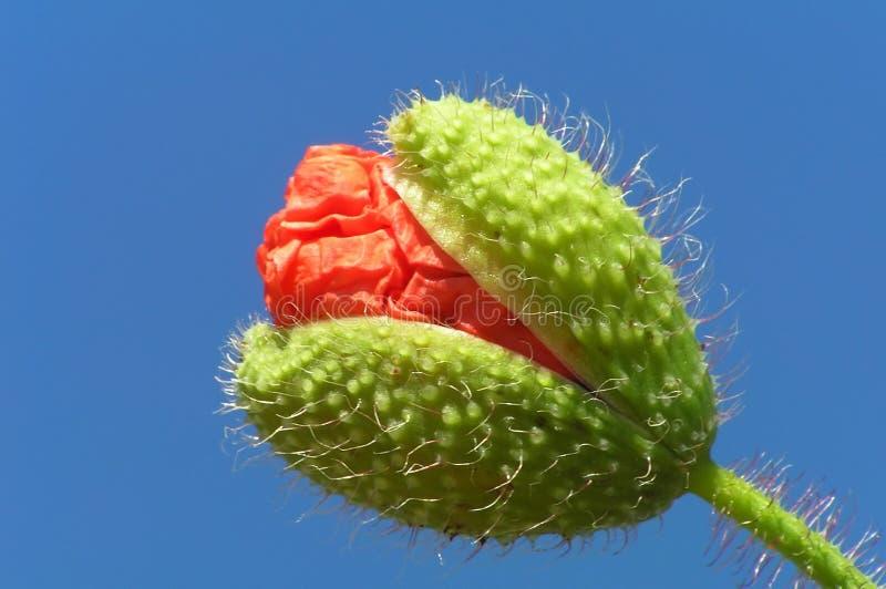 Poppy Bud With Stalk Stock Photography