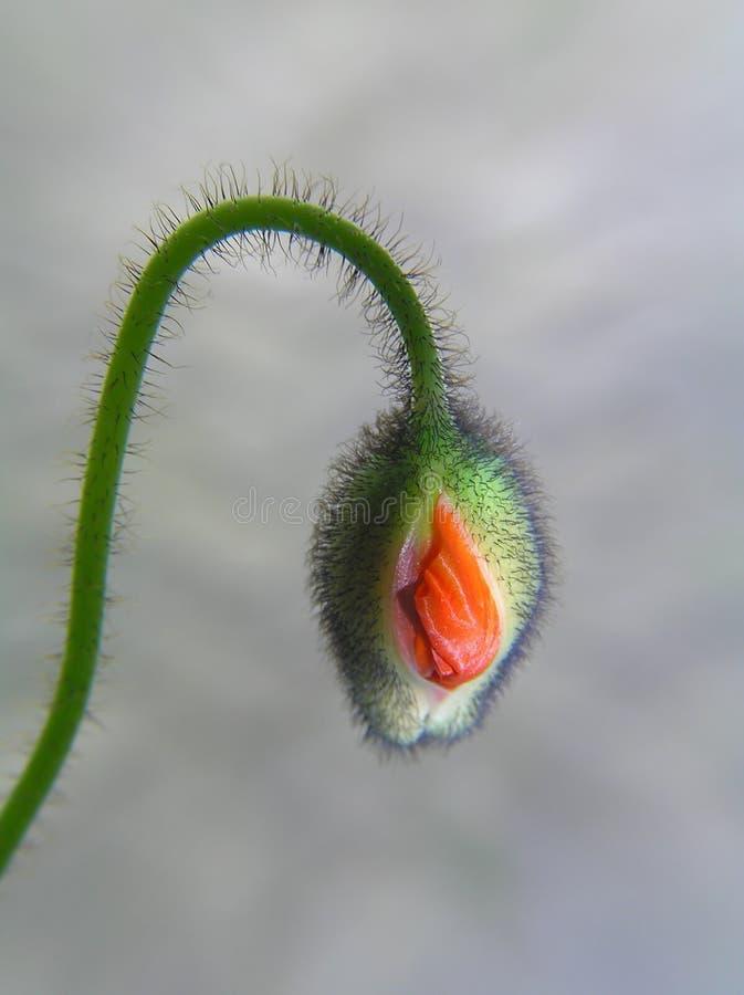 Free Poppy Bud With Stalk Stock Photo - 205730