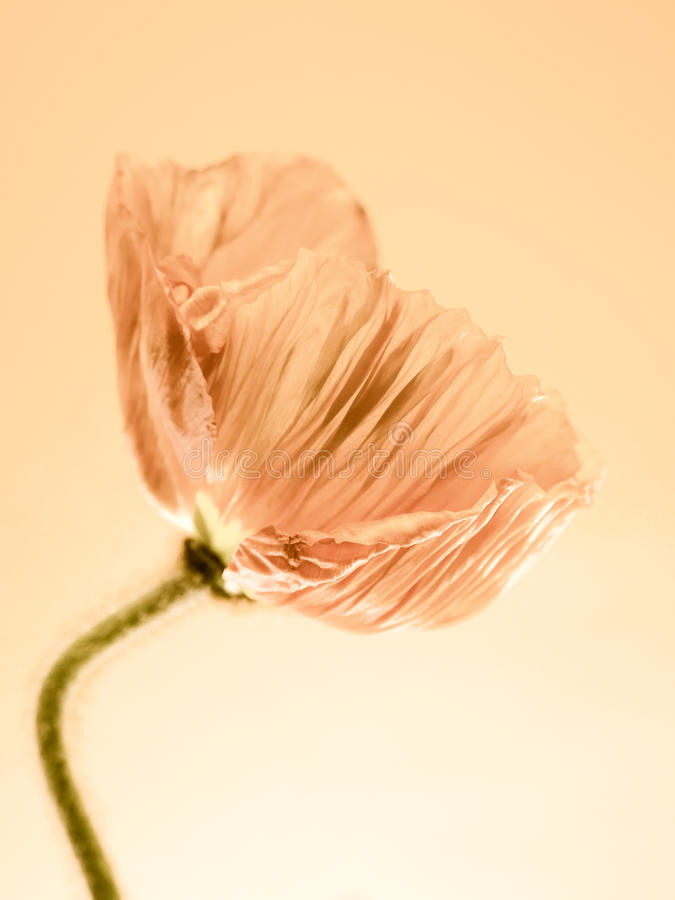 Free Poppy Close Up (151) Stock Images - 36888744