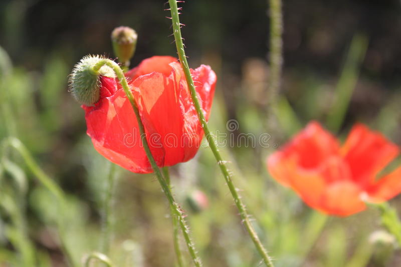 Download Poppy stock photo. Image of flora, clear, aroma, close - 31305666