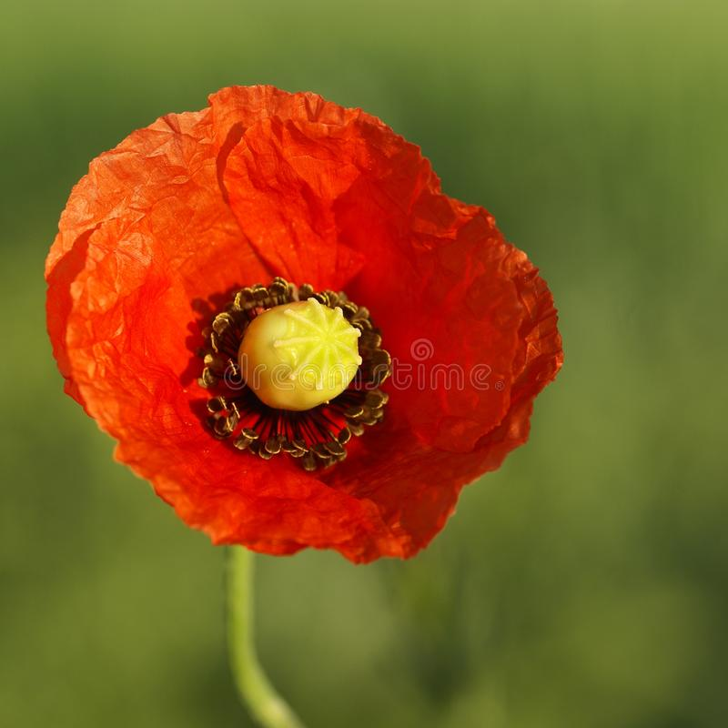 Download Poppy stock image. Image of grass, closeup, poppy, up - 32582427