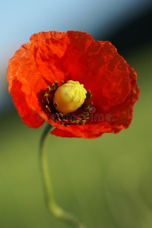 Download Poppy stock photo. Image of summer, grass, vertical, beauty - 32582472