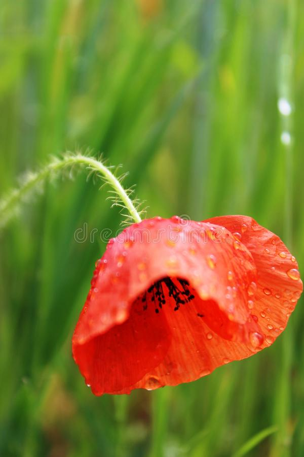 Poppy Closeup photographie stock