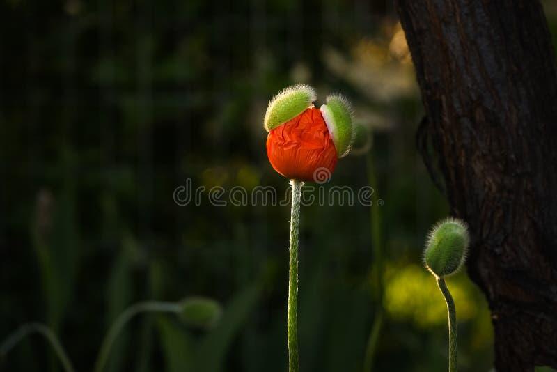 Poppy Coming Out oriental fotografía de archivo libre de regalías