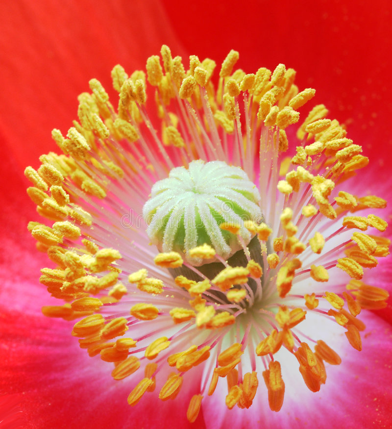 Poppy core royalty free stock images