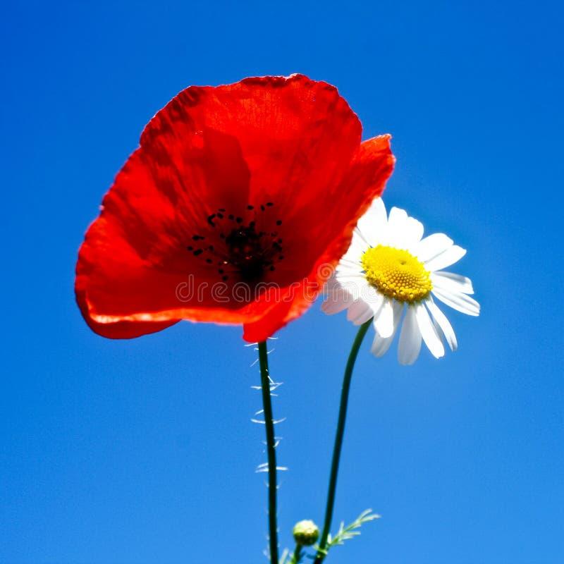 poppy daisy fotografia stock