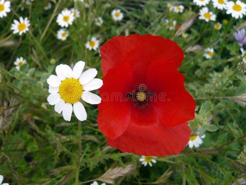 Poppy and daisy flower on green background.Nature flowers. Beautiful couple. Red intense,yellow,white petals.Small daisies flowers stock images