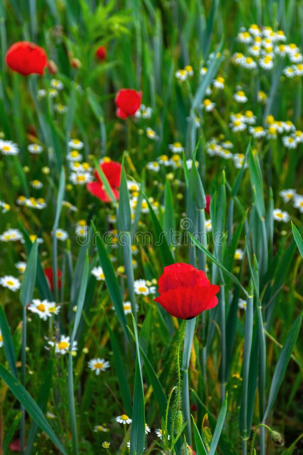 Poppy and daisy flowers in the field stock image