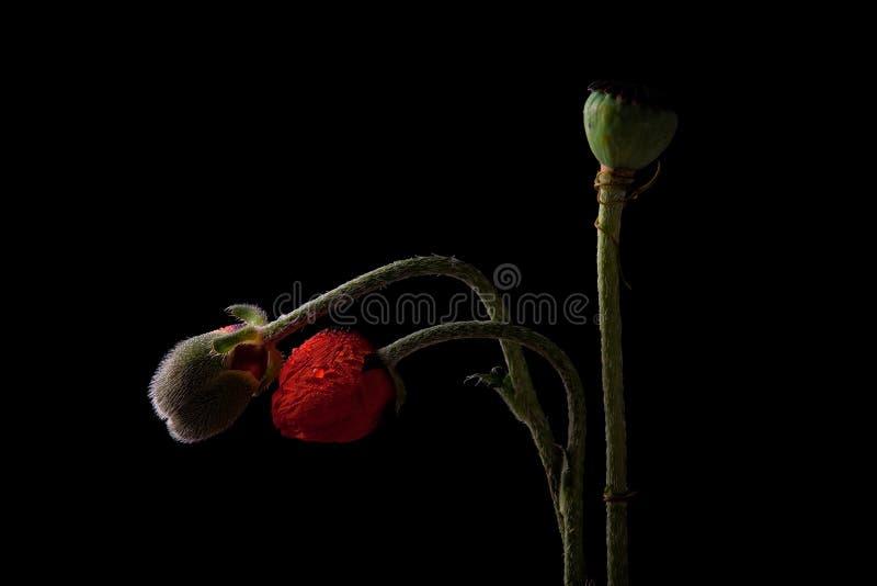 Poppy with dew