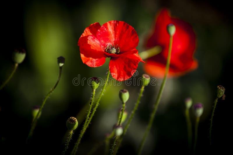 Poppy In Evening Sun stock afbeeldingen