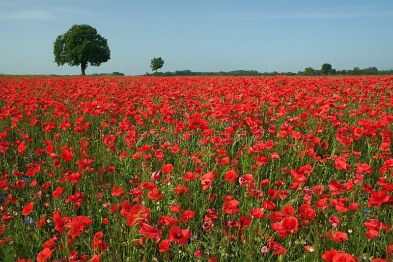 Poppy field 1 royalty free stock photo