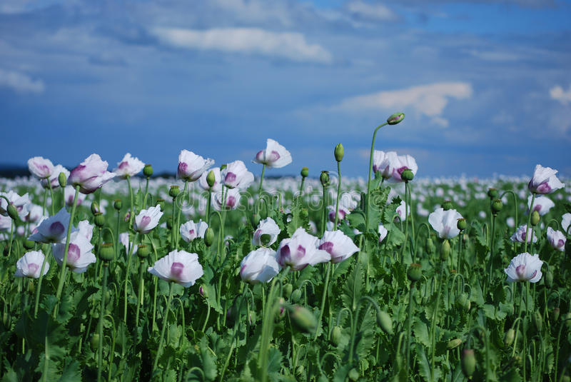 Download Poppy field stock photo. Image of flower, field, agriculture - 10167464