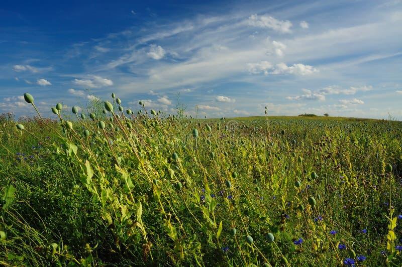 Poppy Field. Poppy head field with horizon stock photography