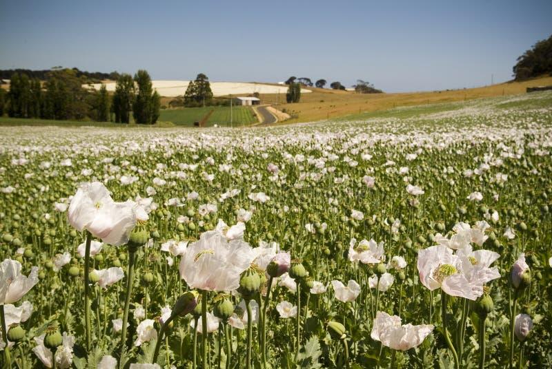 Poppy Field. White poppies love the sun on magnificent Table Cape, just north of Wynyard, Tasmania, Australia stock photo