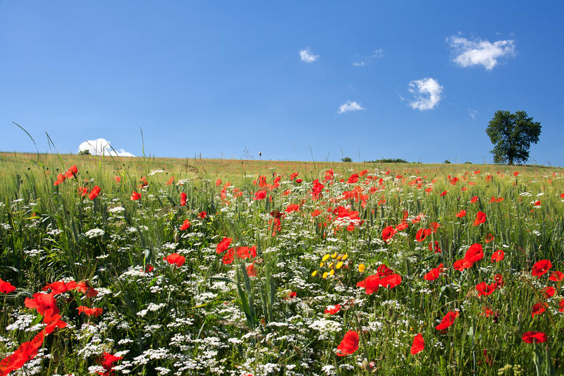 Download Poppy field stock photo. Image of meadow, horizon, wheat - 17107958