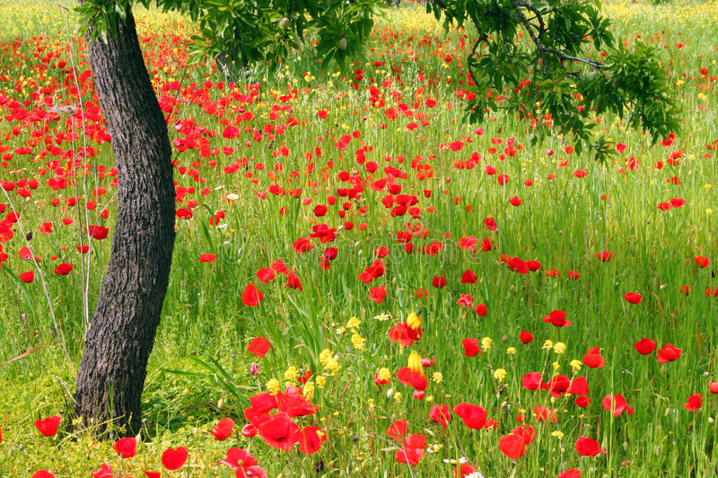 Download Poppy Field Royalty Free Stock Photos - Image: 2306608