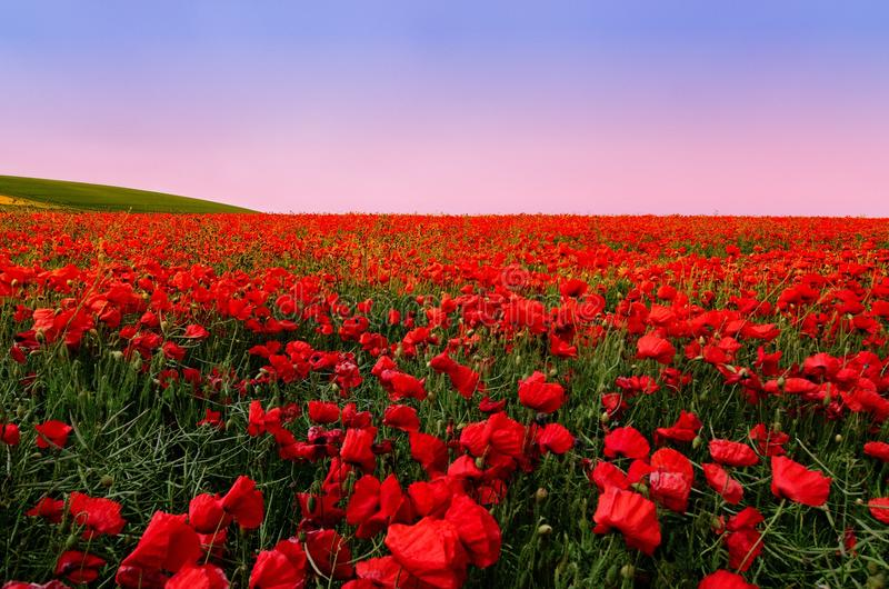 Poppy Field fotos de stock royalty free