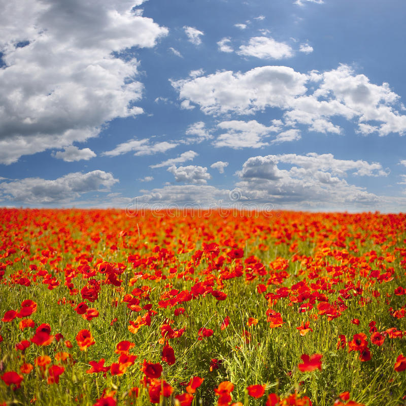 Download Poppy Field Royalty Free Stock Photography - Image: 9920787