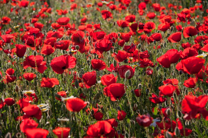 Poppy field against the sun royalty free stock photos