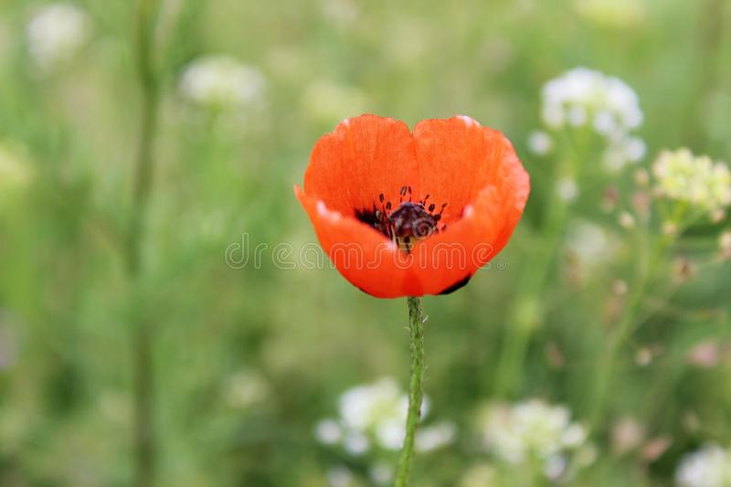 The poppy in the field stock photos