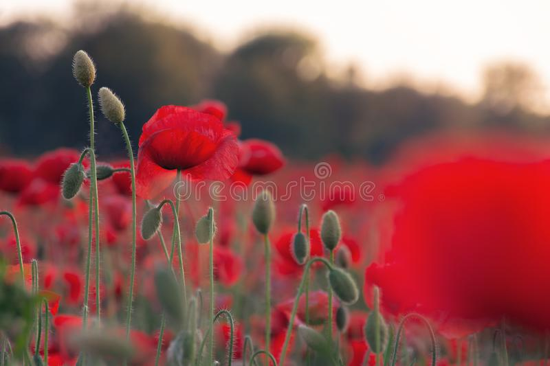 Poppy field blossoming in summer stock photos