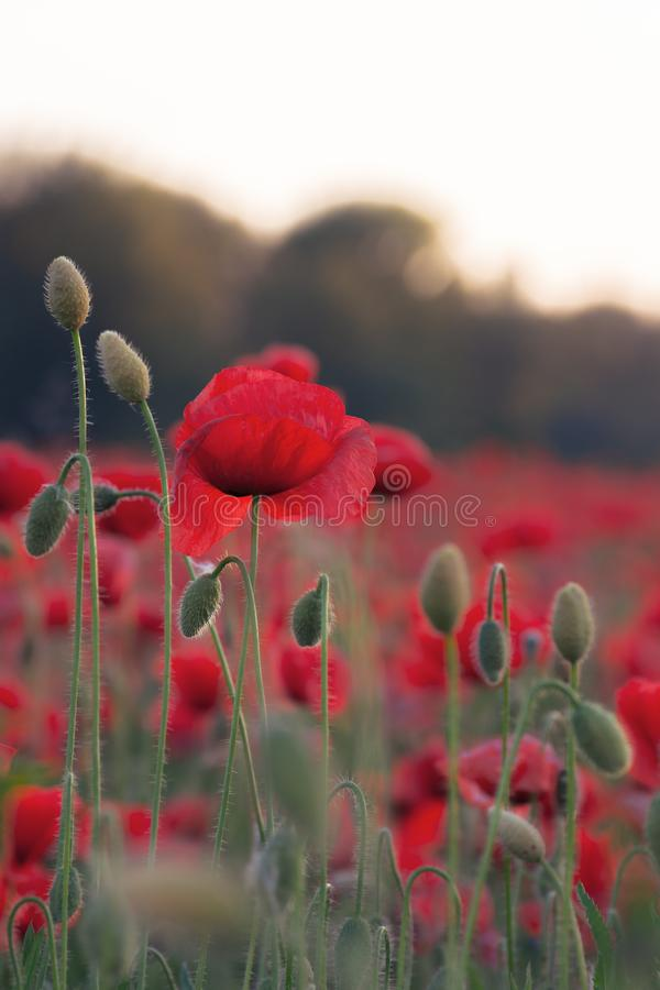 Poppy field blossoming in summer royalty free stock photos