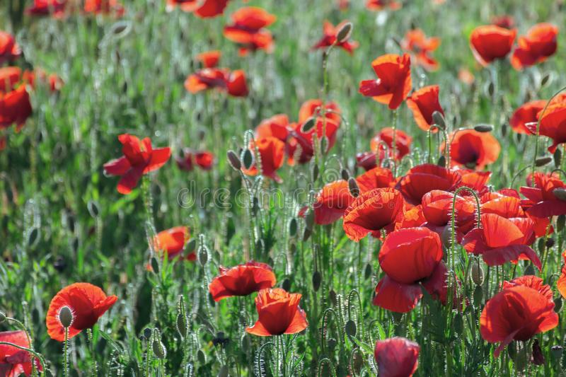 Poppy field blossoming in summer stock photography