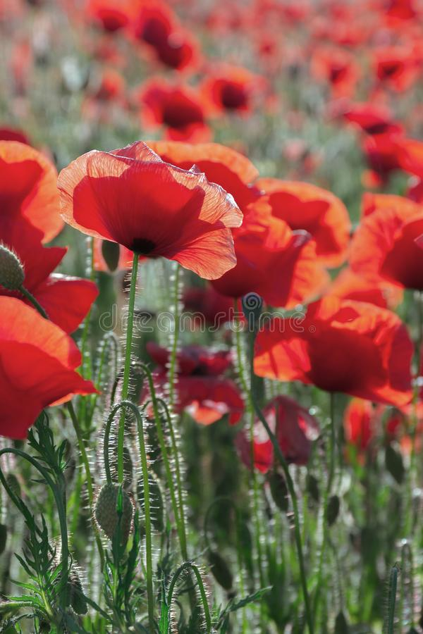 Poppy field blossoming in summer royalty free stock photography