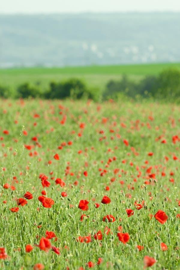 Poppy field close-up stock photo