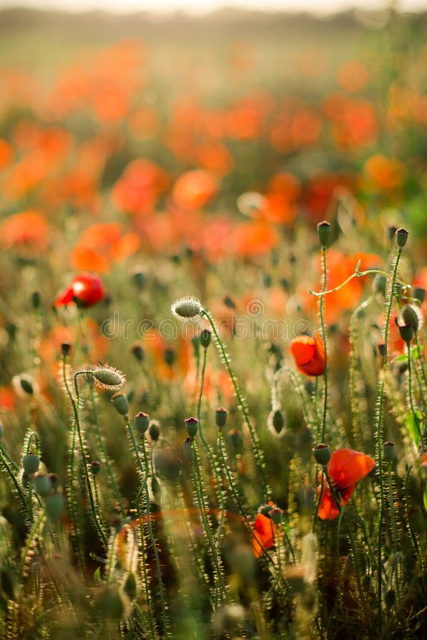Poppy field close-up, blooming wild flowers in the setting sun. Red green background, blank, wallpaper with soft focus royalty free stock image