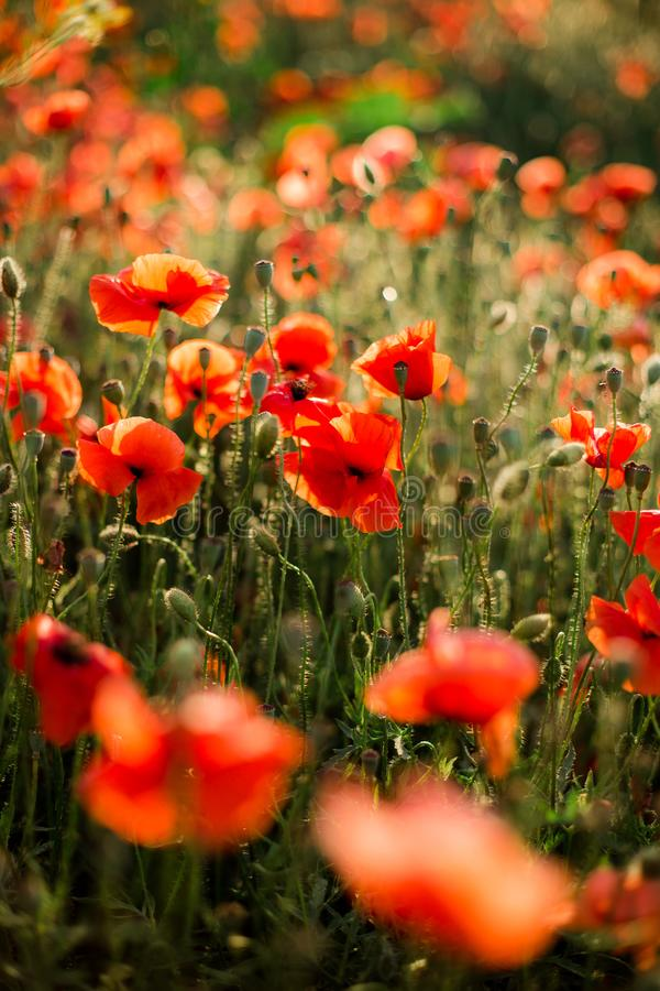 Poppy field close-up, blooming wild flowers in the setting sun. Red green background, blank, wallpaper with soft focus stock photos