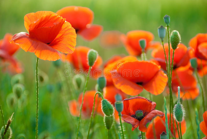 Poppy field in Crimea stock photography