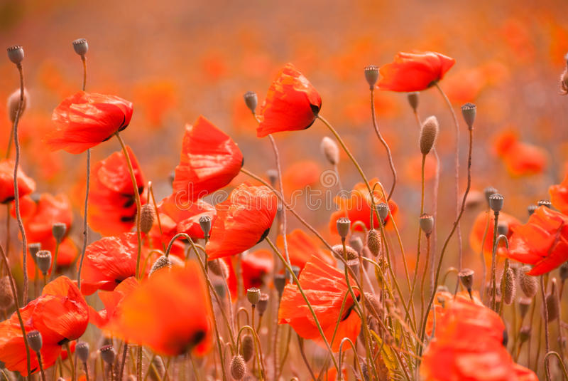 Poppy field in Crimea stock images