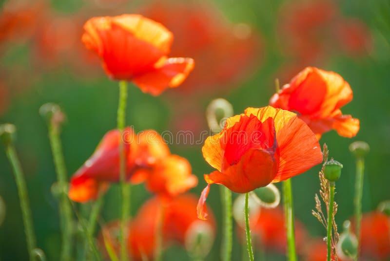 Poppy field in Crimea royalty free stock photos