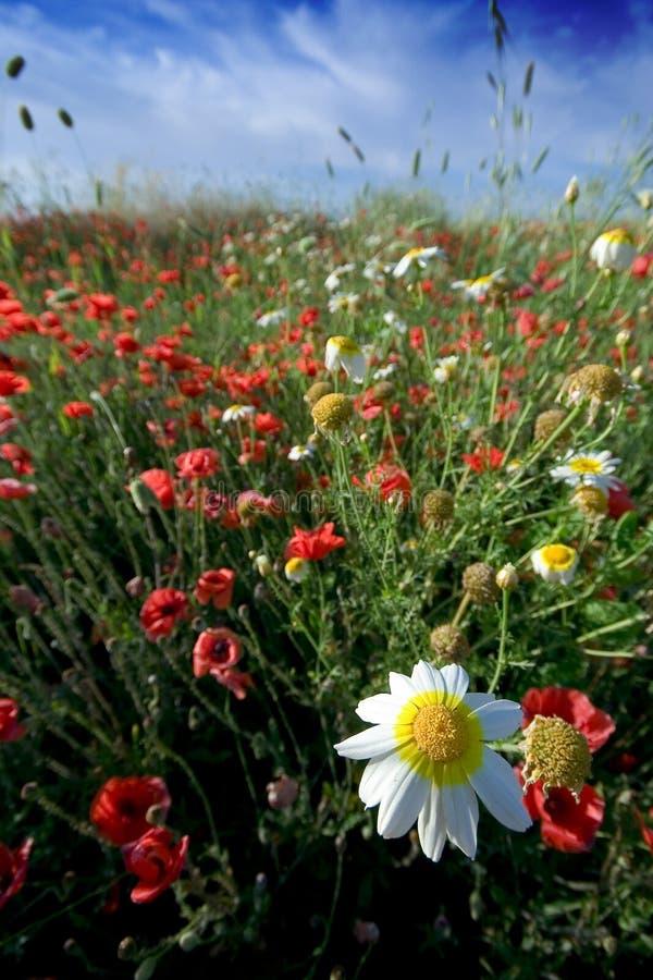 Poppy field and daisy royalty free stock photos
