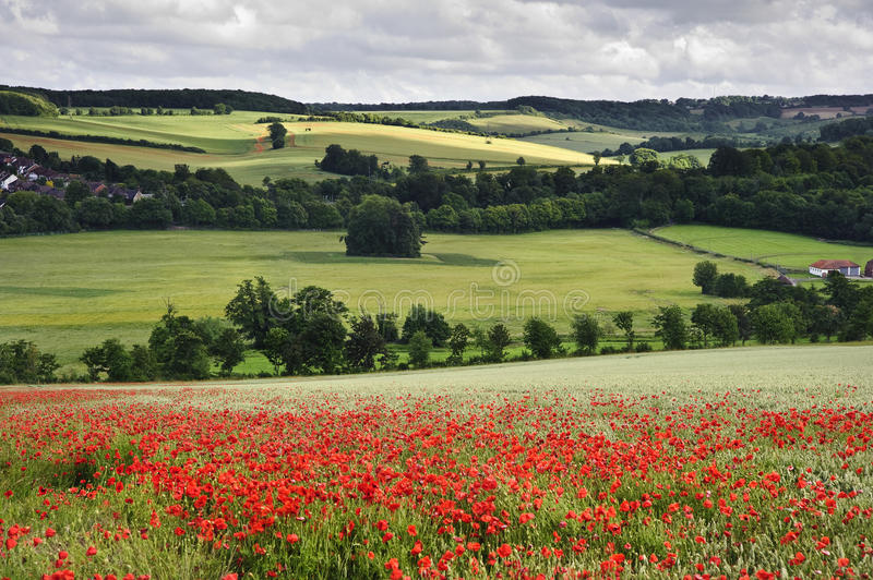 Poppy field in English countryside landscape. View of poppies in wheat field in English countryside landscape royalty free stock photography