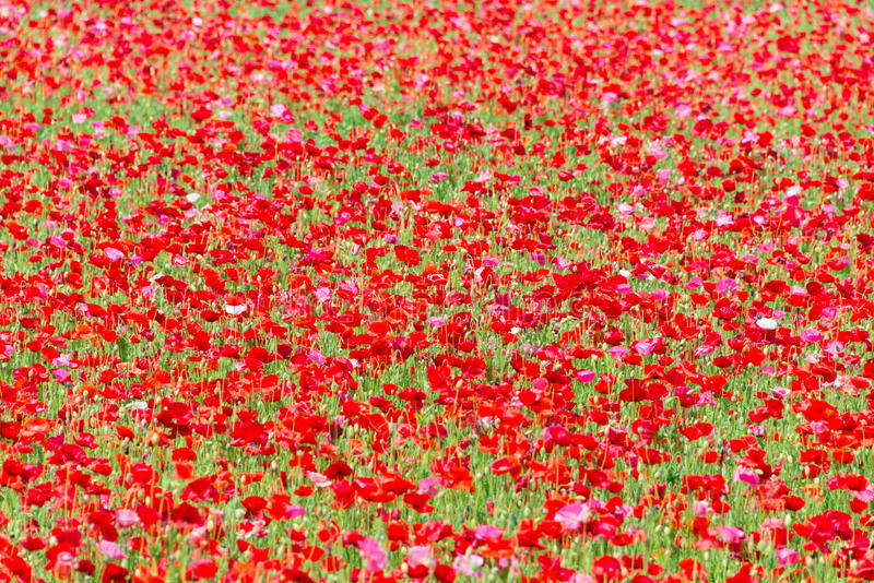 Poppy Field. Found at a park called Akebono Yama Park in Chiba prefecture in Japan royalty free stock photo