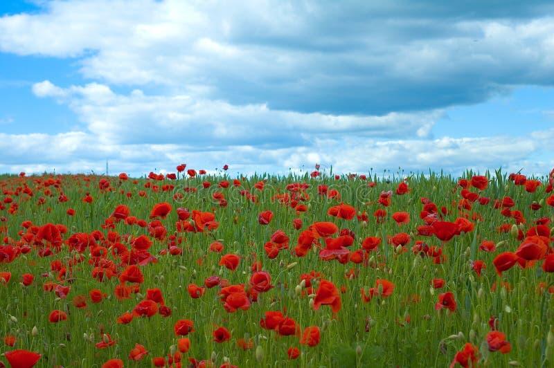 Poppy field in green stock photography