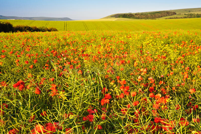 Download Poppy Field Landscape In English Countrysid Stock Image - Image of field, beauty: 25836661