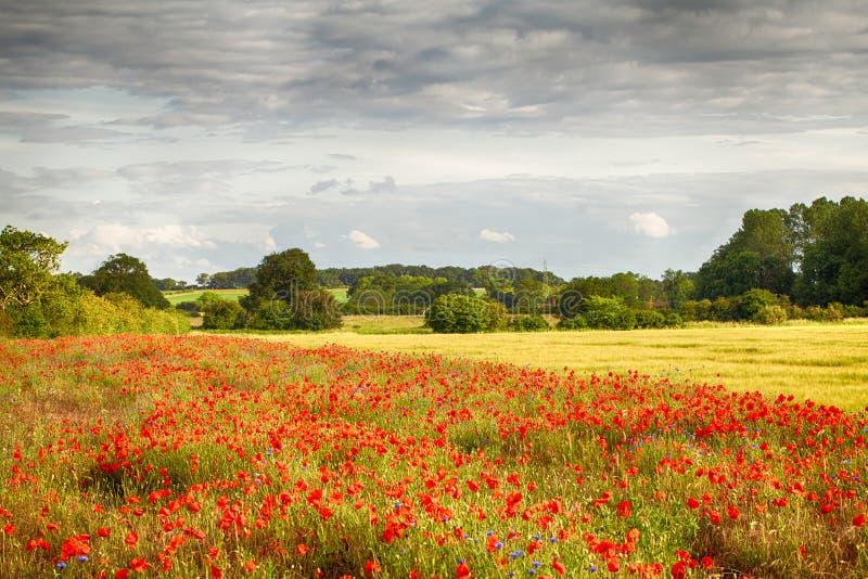 Poppy field landscape in Norfolk. Poppy field landscape in summer in rural Norfolk UK. Red flower crop in farmland stock photo