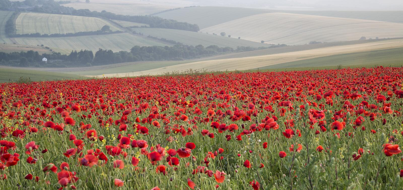 Poppy field landscape in Summer countryside sunrise stock image