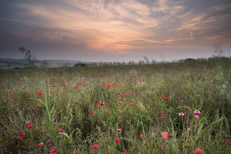 Poppy field landscape in Summer countryside sunrise royalty free stock photo